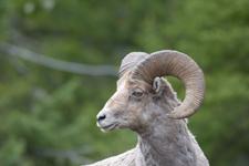 イエローストーン国立公園のオオツノヒツジの画像031