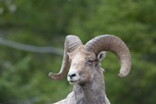 イエローストーン国立公園のオオツノヒツジの画像032