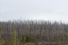 イエローストーン国立公園の山火事で焼けた木々の画像010