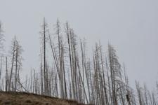 イエローストーン国立公園の山火事で焼けた木々の画像011