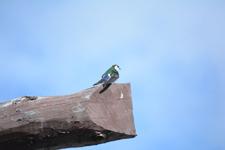 イエローストーン国立公園のスミレミドリツバメの画像001