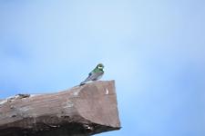 イエローストーン国立公園のスミレミドリツバメの画像002