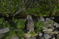 知床半島のシマフクロウの画像001