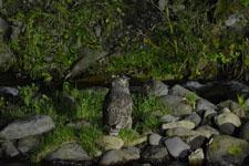 知床半島のシマフクロウの画像002