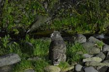 知床半島のシマフクロウの画像004