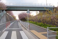 三崎の河津桜の画像007
