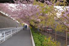 三崎の河津桜の画像009