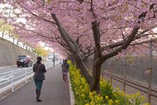 三崎の河津桜の画像010