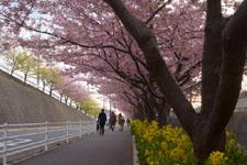 三崎の河津桜の画像011