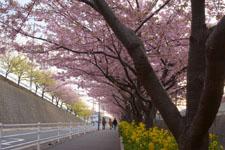 三崎の河津桜の画像012