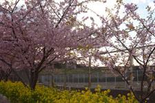三崎の河津桜の画像013