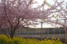 三崎の河津桜の画像014