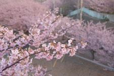 三崎の河津桜の画像016