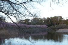 三崎の河津桜の画像019