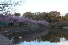 三崎の河津桜の画像020