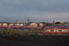 三崎の河津桜の画像022