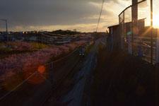 三崎の河津桜の画像024