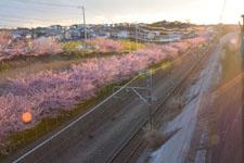 三崎の河津桜の画像026