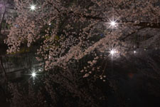 井の頭恩賜公園の満開の夜桜の画像010
