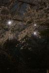 井の頭恩賜公園の満開の夜桜の画像011