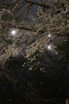 井の頭恩賜公園の満開の夜桜の画像012