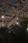 井の頭恩賜公園の満開の夜桜の画像013