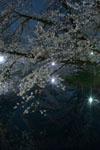 井の頭恩賜公園の満開の夜桜の画像015