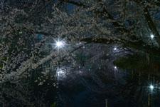 井の頭恩賜公園の満開の夜桜の画像016