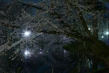 井の頭恩賜公園の満開の夜桜の画像017