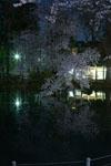 井の頭恩賜公園の満開の夜桜の画像018