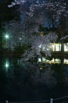 井の頭恩賜公園の満開の夜桜の画像019