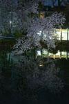 井の頭恩賜公園の満開の夜桜の画像020