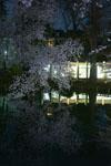井の頭恩賜公園の満開の夜桜の画像021