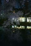 井の頭恩賜公園の満開の夜桜の画像022