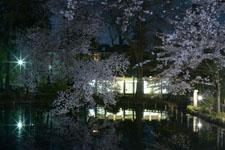 井の頭恩賜公園の満開の夜桜の画像023
