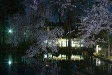 井の頭恩賜公園の満開の夜桜の画像024