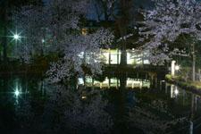 井の頭恩賜公園の満開の夜桜の画像025