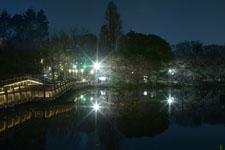 井の頭恩賜公園の満開の夜桜の画像026