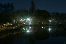 井の頭恩賜公園の満開の夜桜の画像028