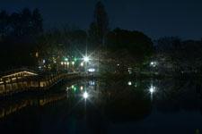 井の頭恩賜公園の満開の夜桜の画像030