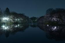 井の頭恩賜公園の満開の夜桜の画像032