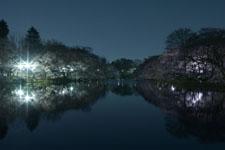 井の頭恩賜公園の満開の夜桜の画像033