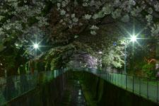 井の頭恩賜公園の満開の夜桜の画像036