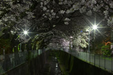 井の頭恩賜公園の満開の夜桜の画像037