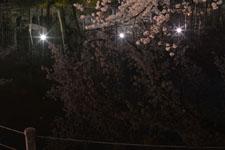 井の頭恩賜公園の満開の夜桜の画像038