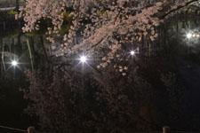 井の頭恩賜公園の満開の夜桜の画像039