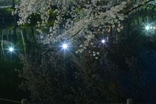 井の頭恩賜公園の満開の夜桜の画像040