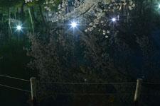 井の頭恩賜公園の満開の夜桜の画像041