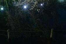 井の頭恩賜公園の満開の夜桜の画像042
