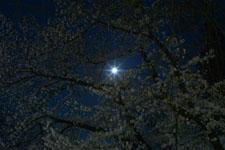 井の頭恩賜公園の満開の夜桜の画像043